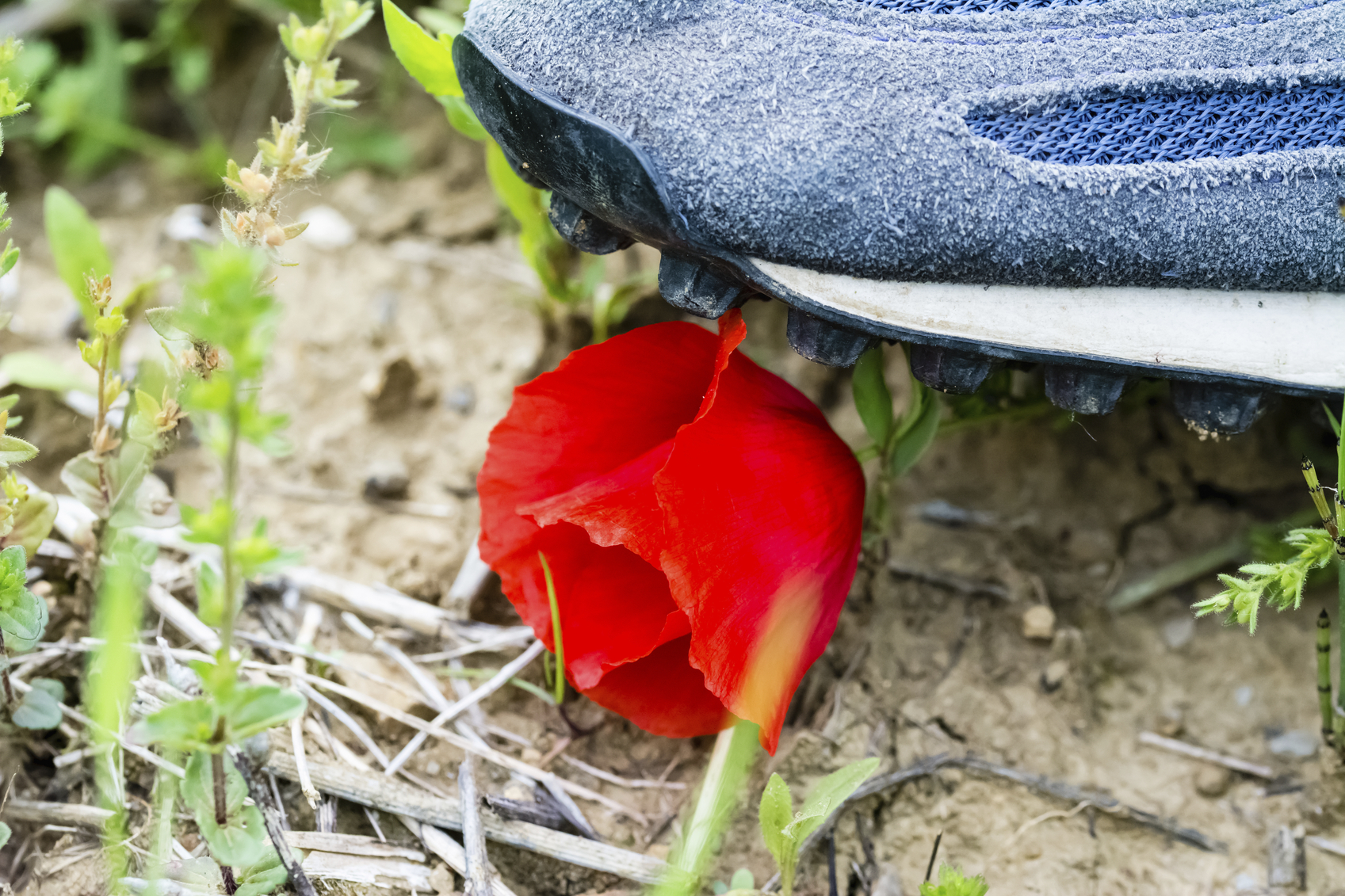 Shoe of a man who tramples a poppy flower