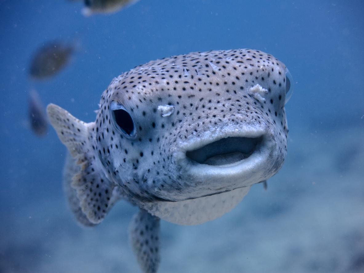 Underwater Cute Salt Water Porcupine Balloonfish Fish (Diodon hystox) Smiling